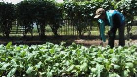 Gozali, tengah merawat tanaman caisim di halaman rumahnya, di desa Kalensari, Kecamatan Widasari, Indramayu, Jawa Barat (tim redaksi Desa Kalensari/nina)