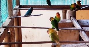 Burung lovebird di kandang penangkaran milik H. Rudianto di Kalensari, Indramayu, Jawa Barat. (dok. villagerspost.com)