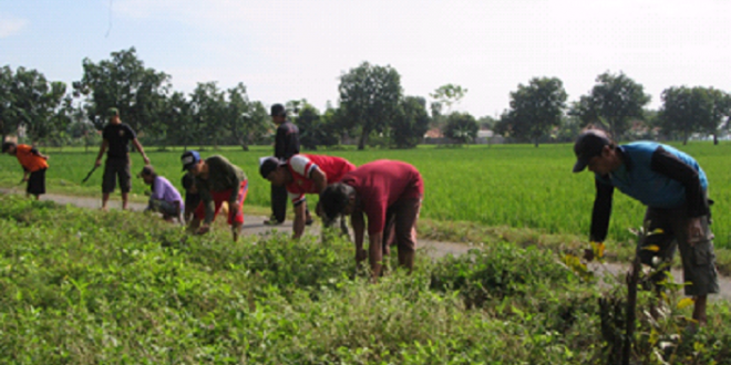 Masyarakat bergotong royong membersihkan jalan Lintas desa dan selokan yang tengah tersumbat rumput di desa Kalensari, Kecamatan Widasari kabupaten Indramayu, Jawa Barat. (villagerspost.com/abu zaed al ansori)